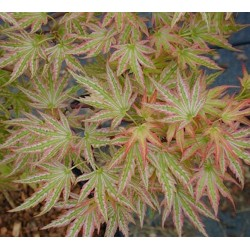 "Acer palmatum ""Higasayama"
