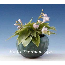 Hosta Kusamono 430
