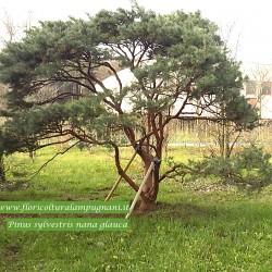Pinus sylvestris nana glauca