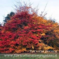 Parrothia persica