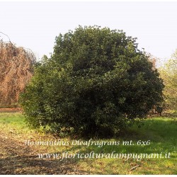 osmanthus Oleafragrans