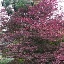 Fagus sylvatica Tricolor