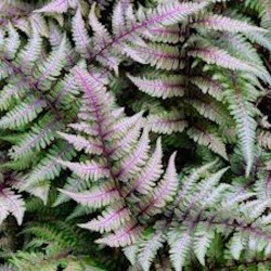 Athyrium Niponicum 'Red beauty - Fern, felce perenne
