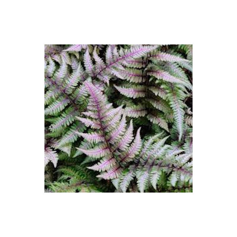 Athyrium Niponicum 'Red beauty - Fern, felce perenne