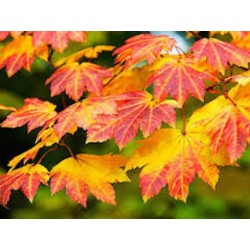 Acer Japonicum Vitifolium