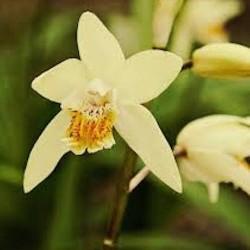 Bletilla striata yellow river - orchidea da giardino