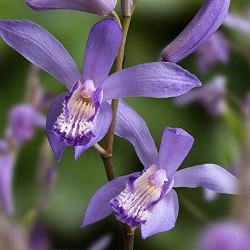 Bletilla striata blue billow  orchidea da giardino