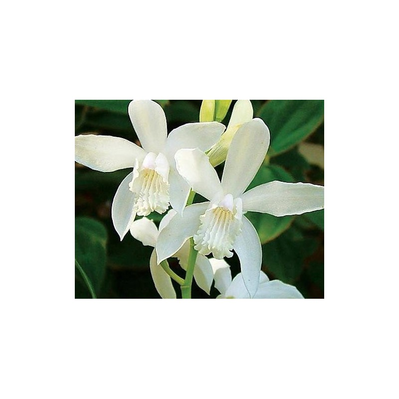 Bletilla striata alba orchidea da giardino