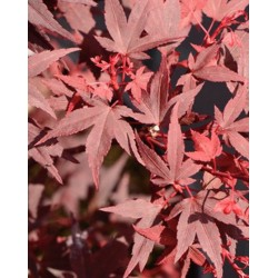 copy of Acer palmatum...