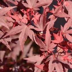 Acer palmatum iranian red