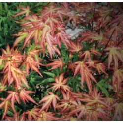 copy of Acer palmatum Arakawa