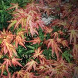 Acer palmatum Wilson's pink...