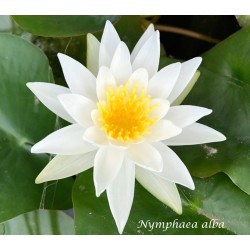 copy of Nymphaea Charles De...