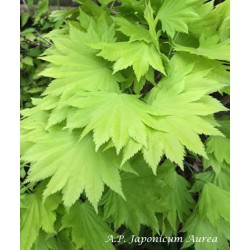 copy of Acer Japonicum...