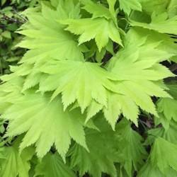 Acer palmatum Japonicum...