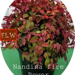 copy of Nandina nana fire...