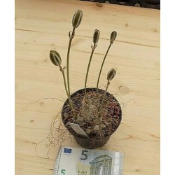Albuca Longifolia