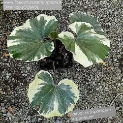Farfugium Japonicum Argenteum