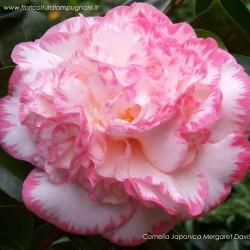 Camellia Japonica Mergaret...
