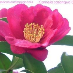 Camellia sasanqua cherylin