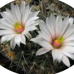 Mammillaria zephyranthoides