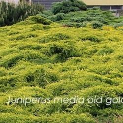 Juniperus media old gold...