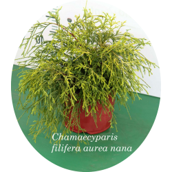 Chamaecyparis Filifera...