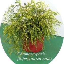Chamaecyparis Filifera...