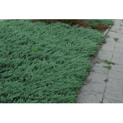 Juniperus Blue Chip vaso 13...