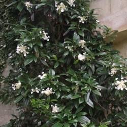 Hydrangea seemanii...
