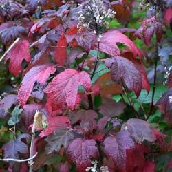Hydrangea quercifolia vaso 18