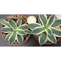Agave Parryi applanata...
