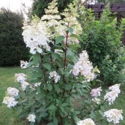Hydrangea Paniculata Early...
