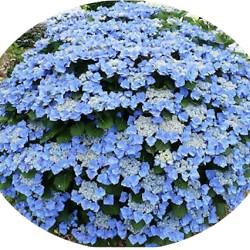 Hydrangea Mac. Blaumeise...