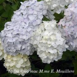 Hydrangea mac M.me E....