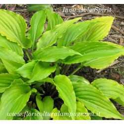 Hosta Invincible Spirit