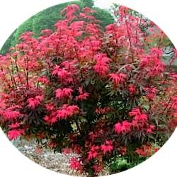 Acer palmatum shaina vaso...