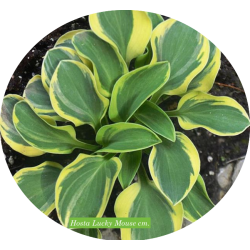 Hosta Lucky mouse  vaso/pot