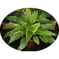 Hosta Kalamazoo in vaso/pot