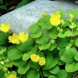 "Lysimachia Nummularia ""Aurea"""
