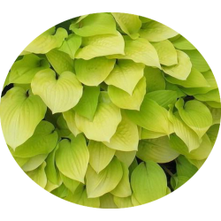 Hosta Miss Siusi