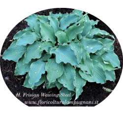 Hosta Frisian Waving Steel...