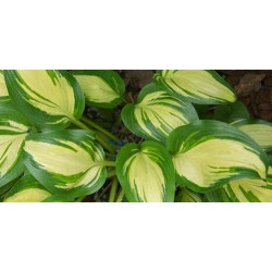 Hosta Sea Thunder
