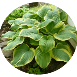 Hosta Fragrant Bouquet in...