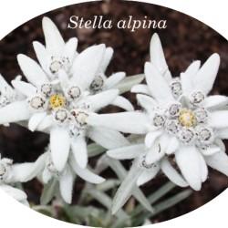 Leontopodium alpinum...