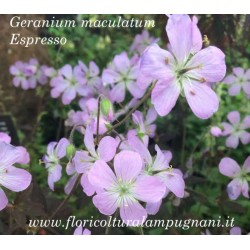 Geranium maculatum'Espresso'