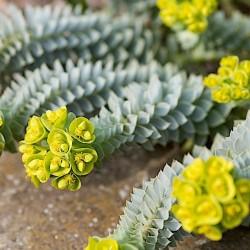 Euphorbia Myrsinites vaso 13