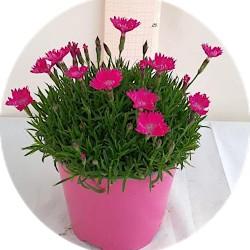Dianthus 'Kahori'®  vaso 13