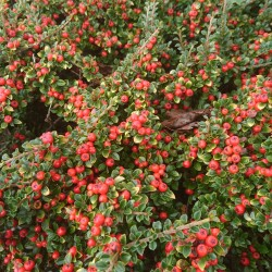 Cotoneaster microphyllus...