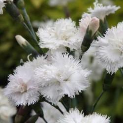 Dianthus Plumarius albus...